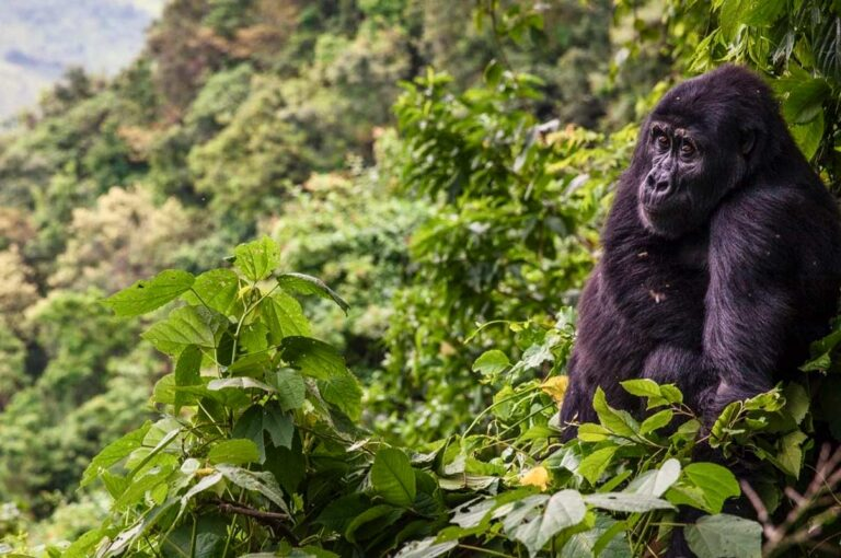 3 Days gorilla trekking safari in Rwanda