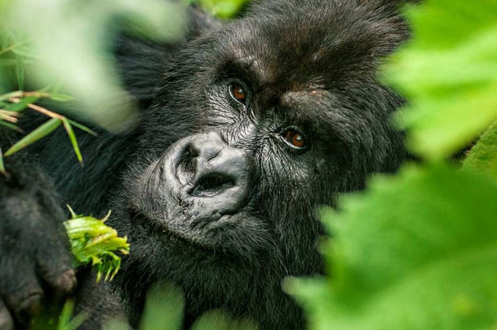 3 Days uganda flying gorilla trekking safari