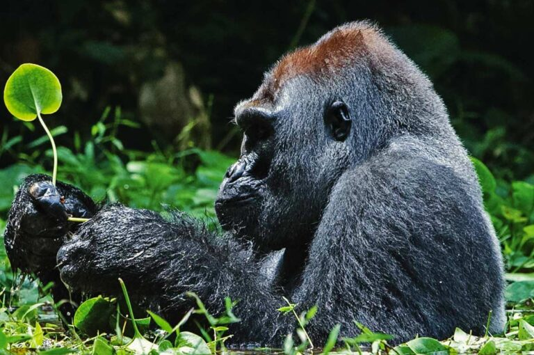 5 Days Rwanda gorilla trekking, Dian Fossey & Golden Monkeys