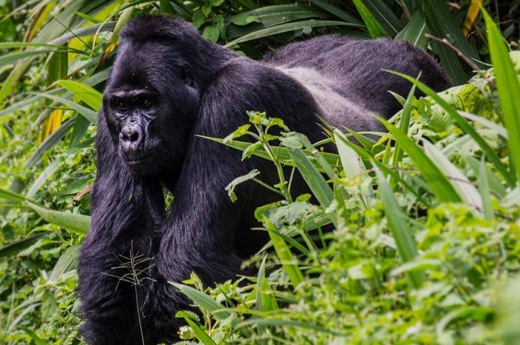5 Days Uganda Gorilla Trekking safari