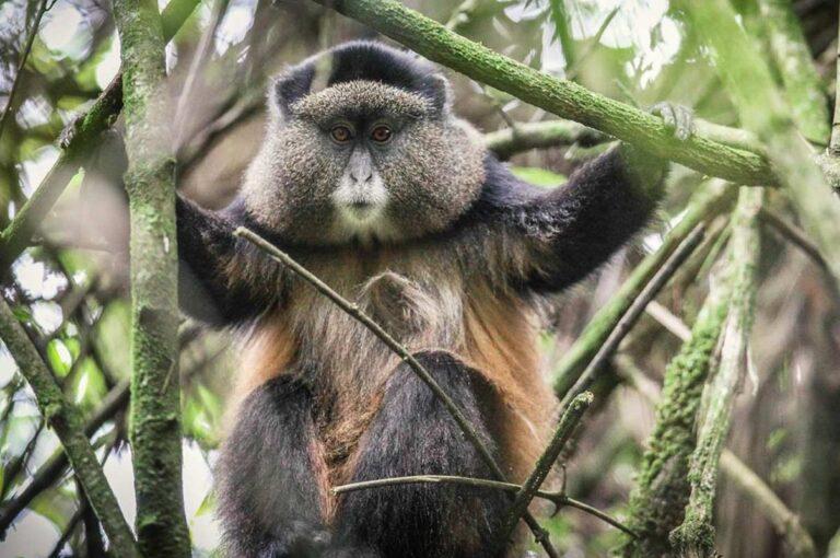 6 Days Rwanda gorilla trekking,Dian fossey, and Golden Monkeys