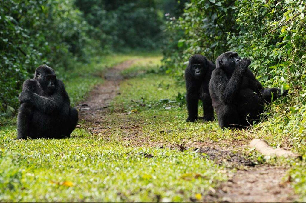 9 Days Gorillas And Chimpanzee trekking safari